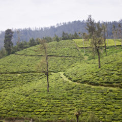 Tea gardens in Nilgiri, India