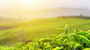 Green tea leaves at tea plantation in rays of sunset
