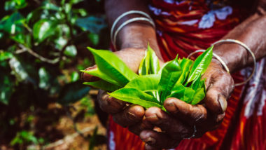 Hands holding a fresh tea leaves on the tea plantation, Sri Lanka